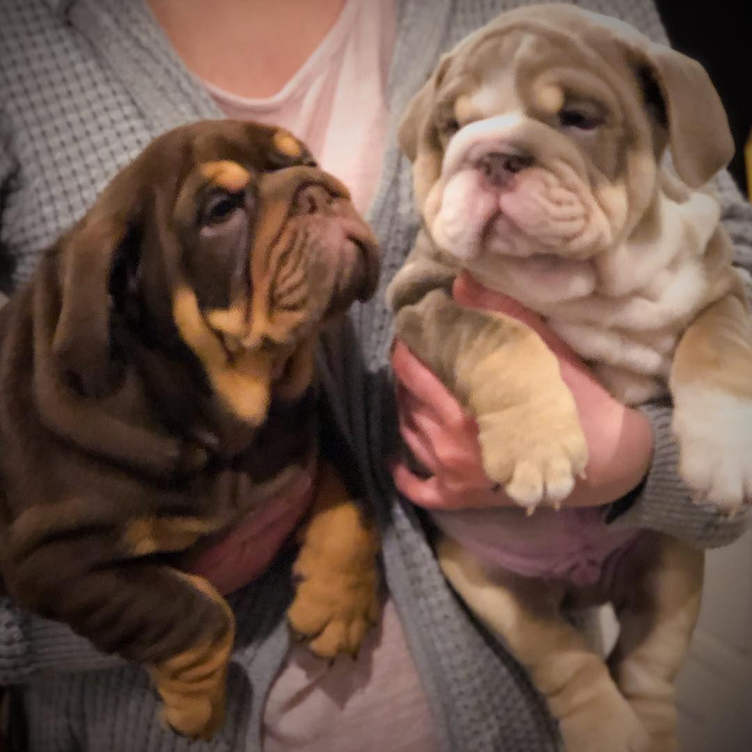 Image May Contain Beautiful Pups With Images Bulldog Bulldog