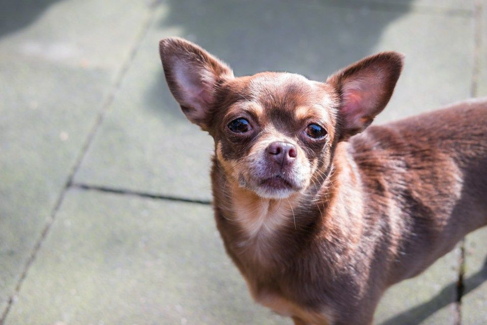 8 Chihuahua Dog Breeds That Will Melt Your Heart Chihuahua Dogs