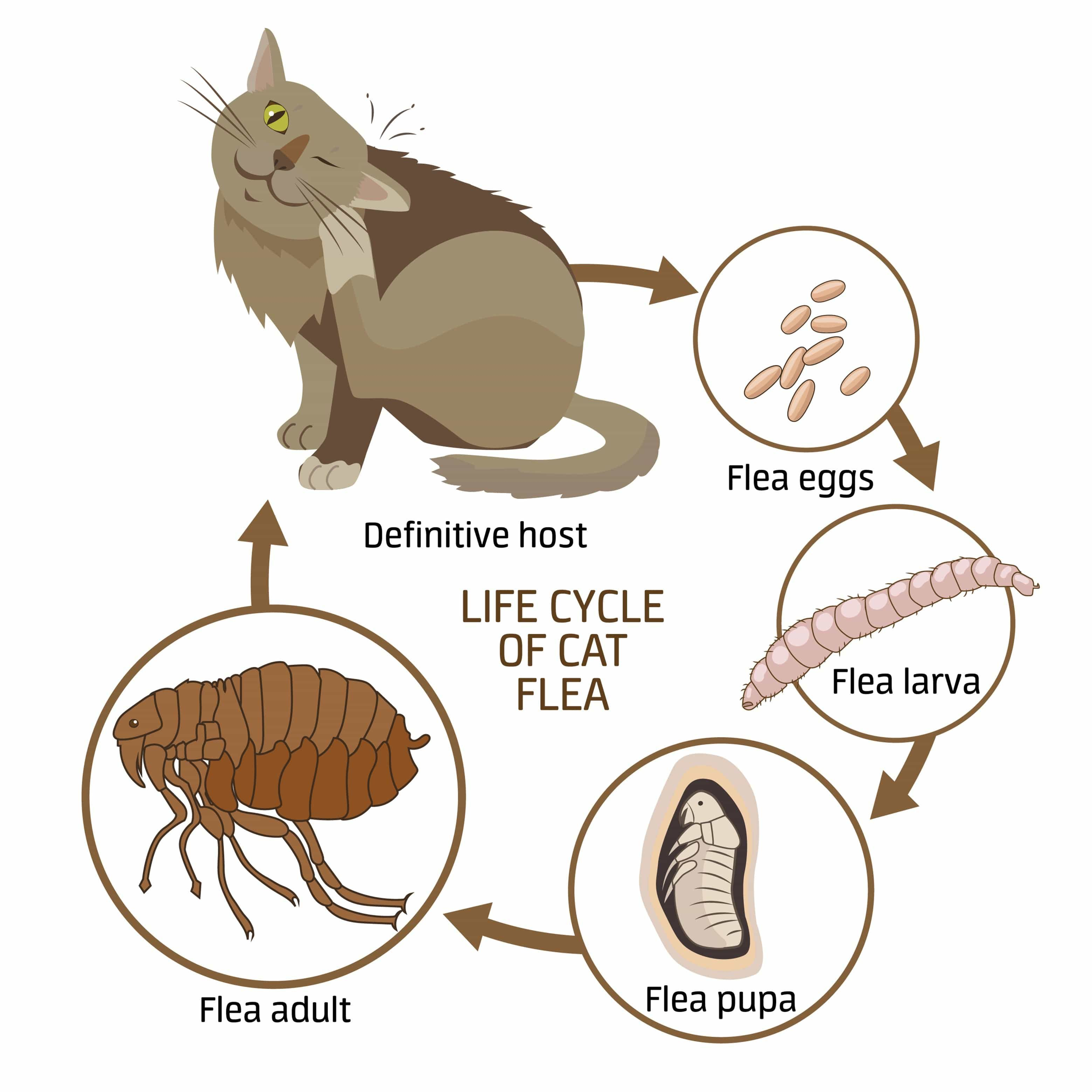 flea life cycle for cat Cat fleas, Cat fleas treatment