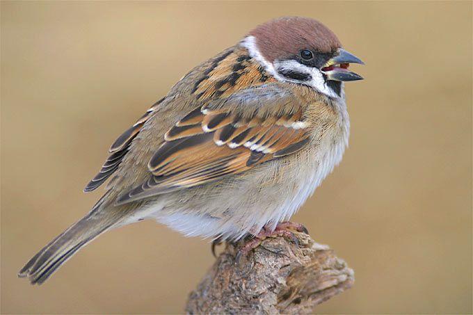 vogelporträt feldsperling  nabu  tierbilder heimische