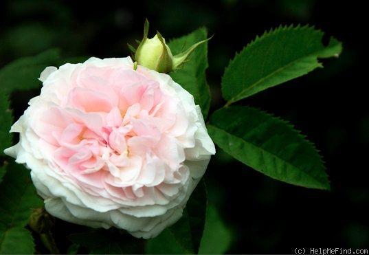Rosa gallica 'Agatha Incarnata'