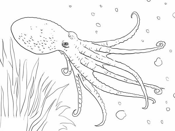 Octopus, : Octopus Swim Under The Sea Coloring Page