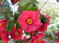 Japanese camellia flower tree with hot pink flowers and yellow japanese camellia flower tree with hot pink flowers and yellow centerg mightylinksfo