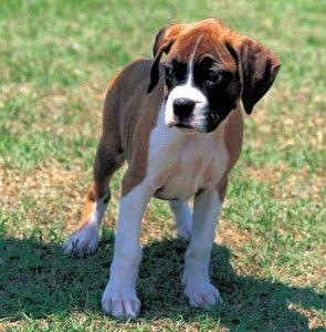 Adopt Bowser (Foster) on Boxer bulldog, Boxer dogs, Dogs
