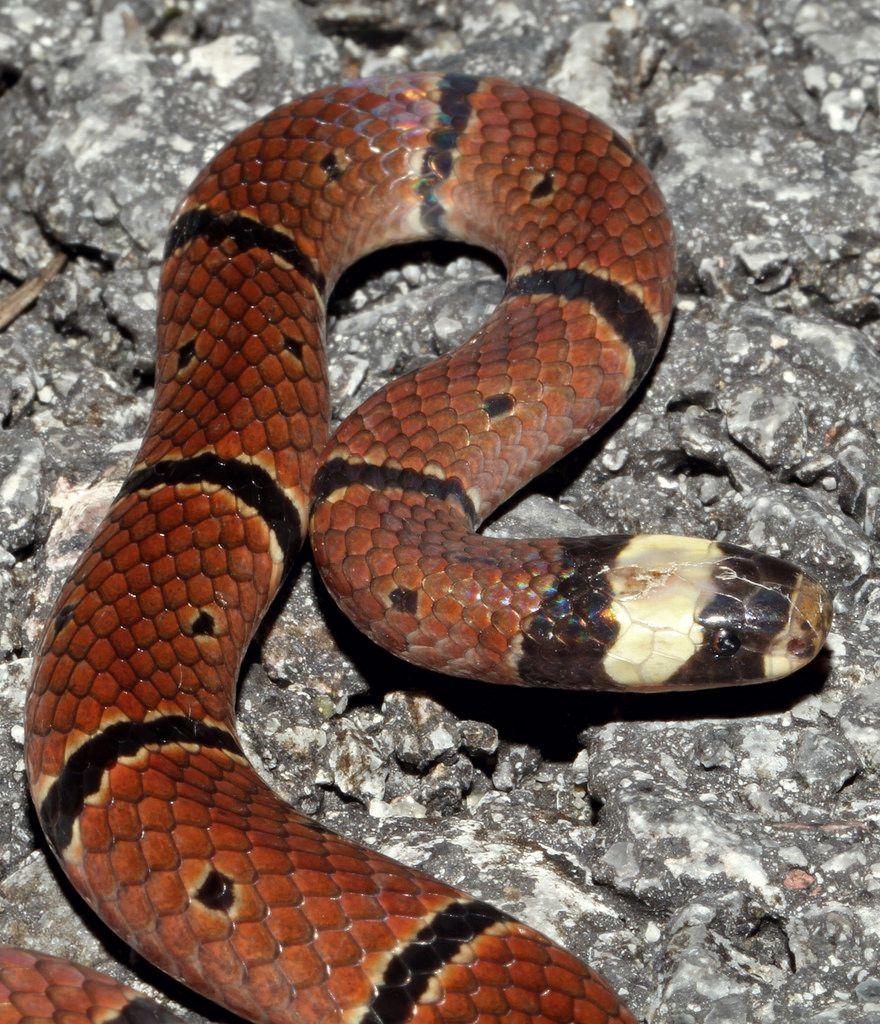 McClelland's Coral Snake (Sinomicrurus Macclellandi