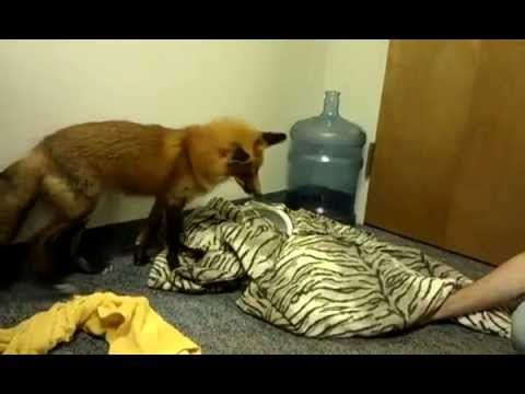 Watch Socks, our very cute Red Fox playing with the wildlife staff at the EcoTarium!