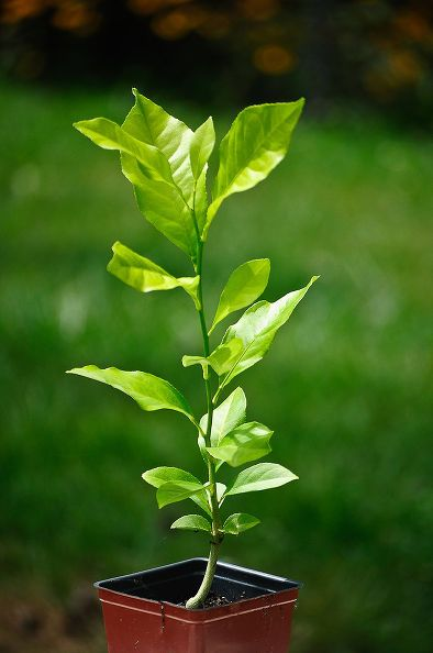 Start Your Own Lemon Trees From Seed Lemon tree from
