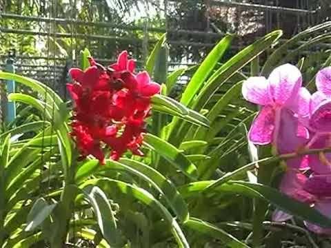 Orchid Nursery At Thai Et