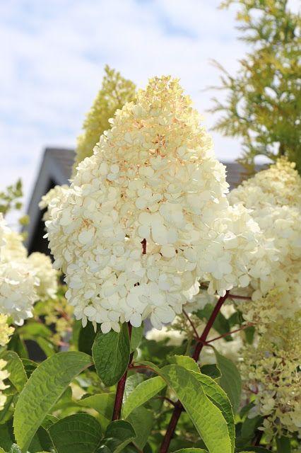 Vanilla Strawberry Hydrangeas in Bloom (White stage)