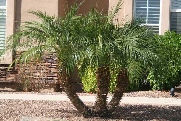 Pygmy Date Palm Desert Horizon Nursery