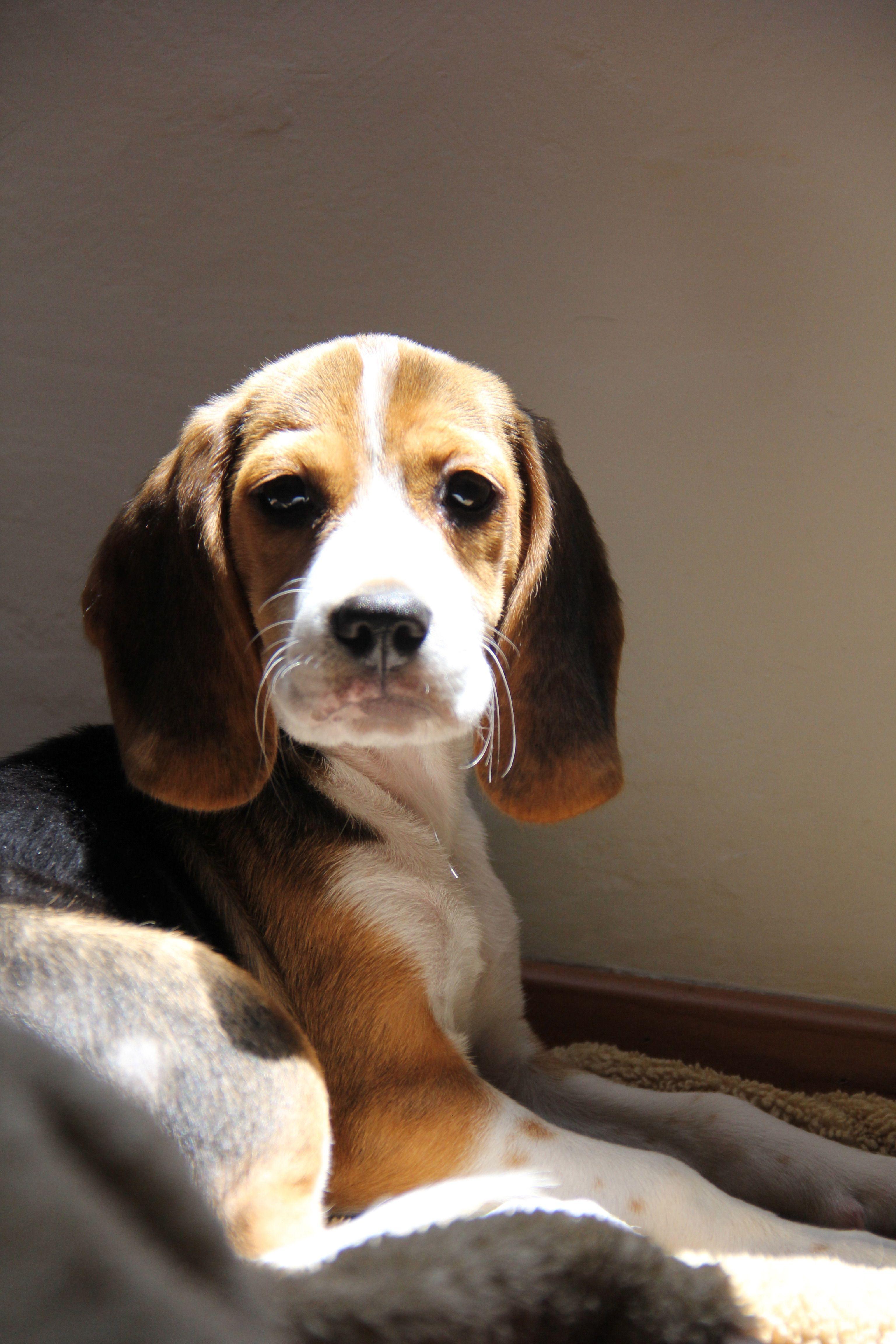 Pin by petra demmersvergouw on beagle bella pinterest beagle