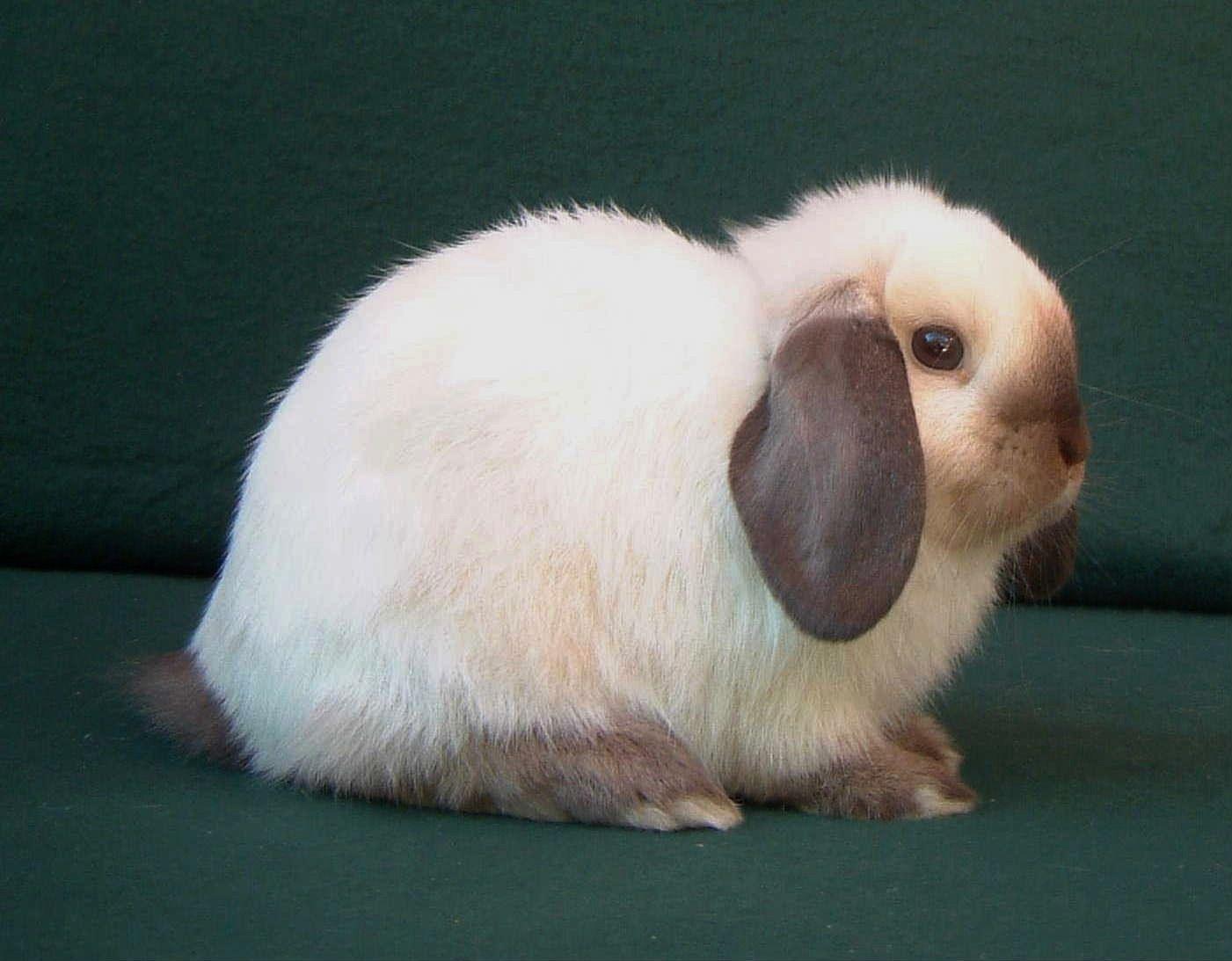 Siamese Mini Lop Rabbits Google Search Mini Lop Mini Lop Rabbit Animal Photography