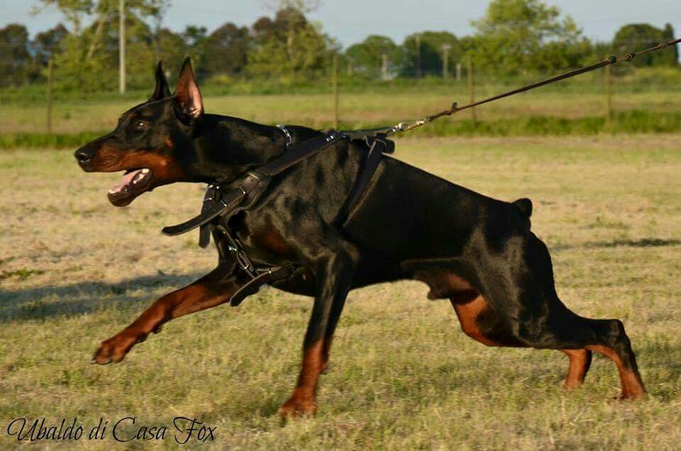 Doberman Training Doberman Dogs Doberman Doberman Love
