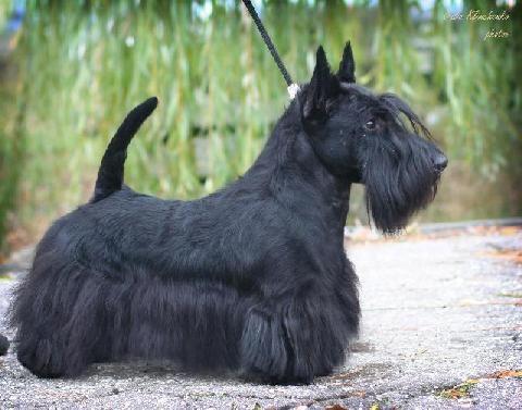 Scottish Terrier Princ Shotlandskiy S Peschannoi Otmely Sobaki Skotch