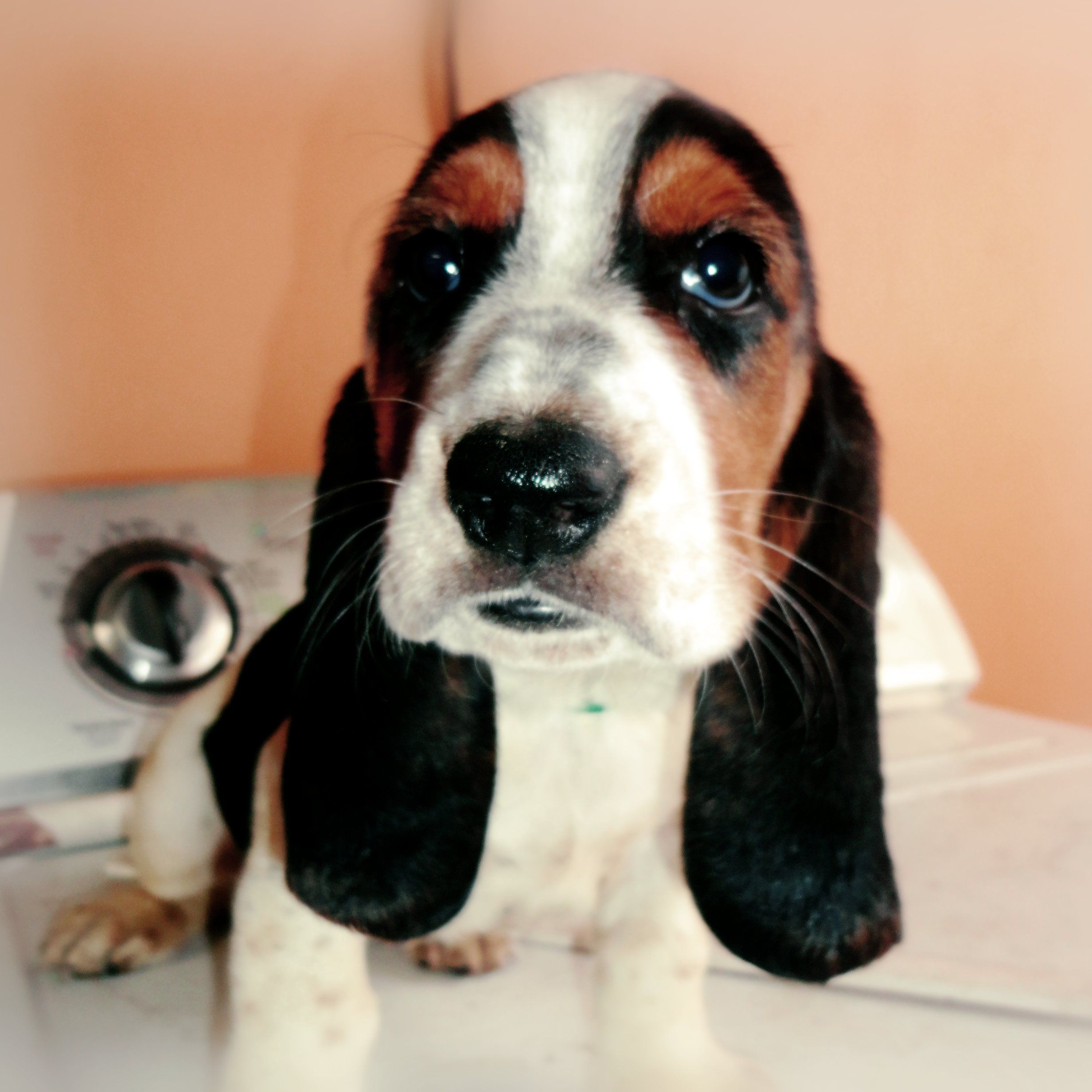 My beautiful Baby Basset Hound, She's 2 Months Old. She's ...