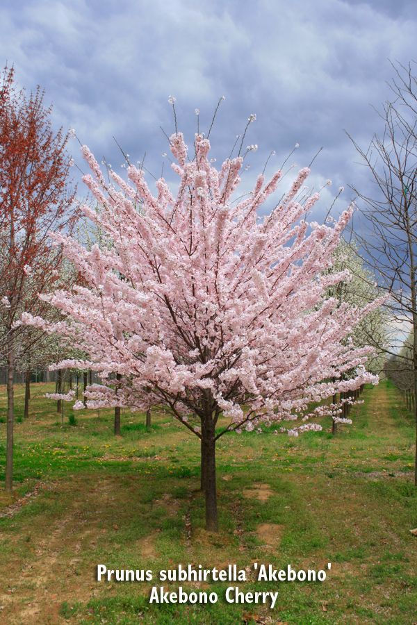 Akebono Cherry Tree Front House Landscaping Shade Trees Flowering Trees