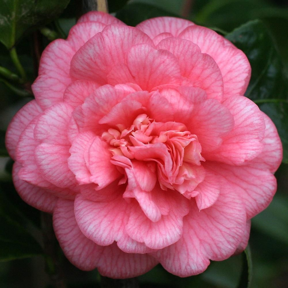 Page Cannot Be Found Beautiful Flowers Camellia Flower Beautiful Pink Flowers