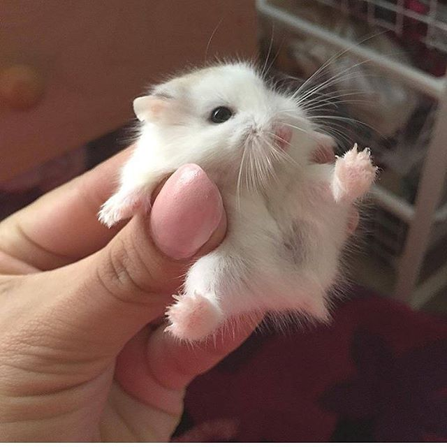 Give this Drawf hamster a name cc_fluffballs Follow us