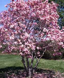 Magnolia Betty 15 Feet Tall Up To 8 Inch Blooms Can Be Used As A