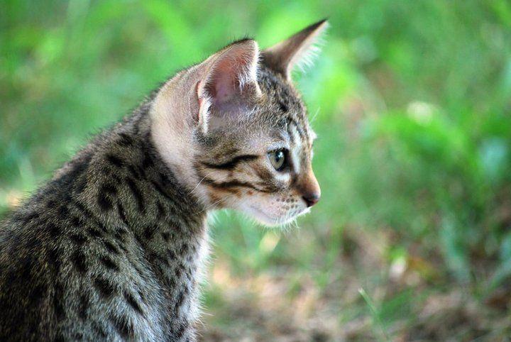 ocicats | Moosegrove Ocicats - Näyttelyt 2010