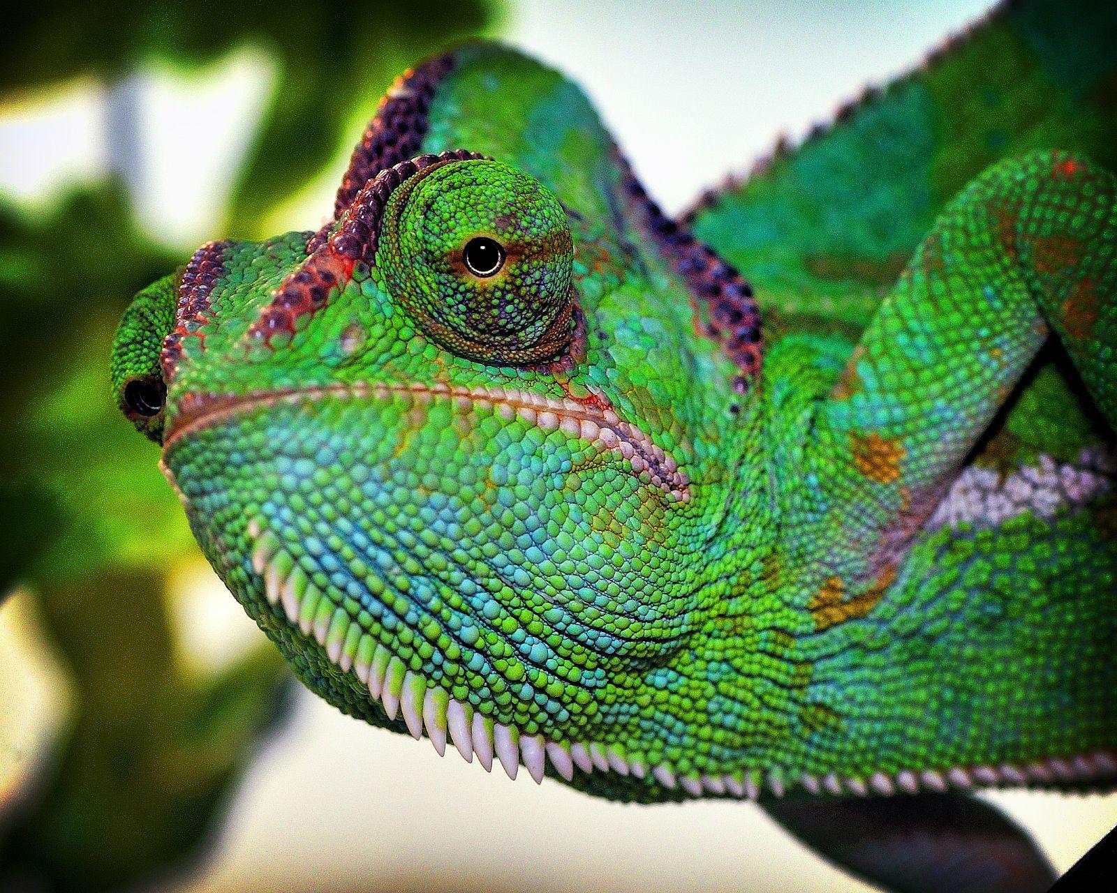 Yemen chameleon at Northampton Reptile Centre Reptiles