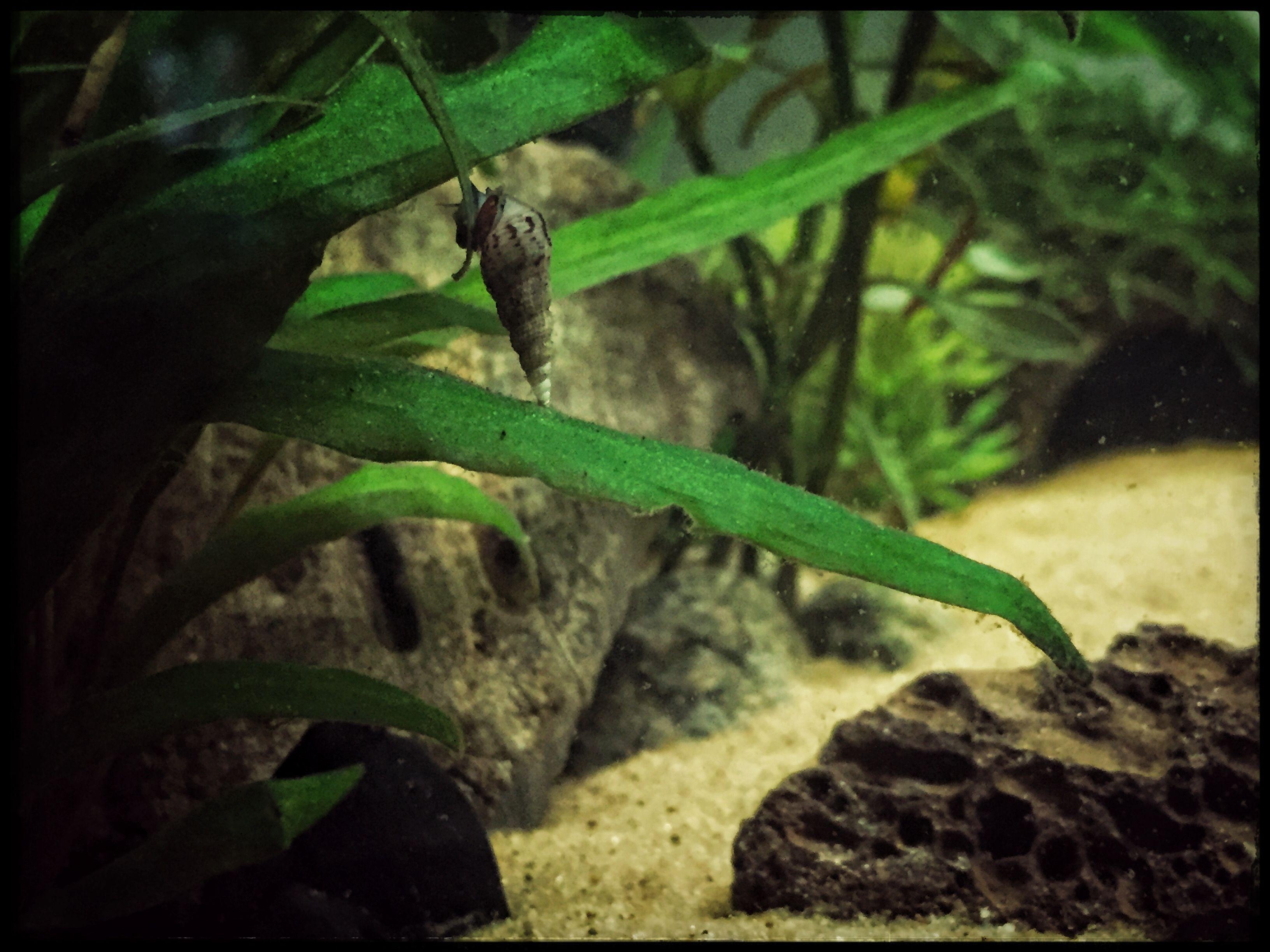 Little Malaysian Trumpet Snail munchin on a plant