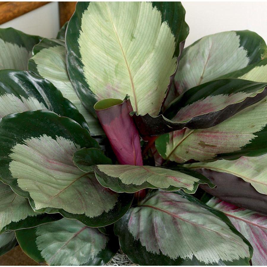 Calathea (L2924HP) Plants, Calathea, House plants