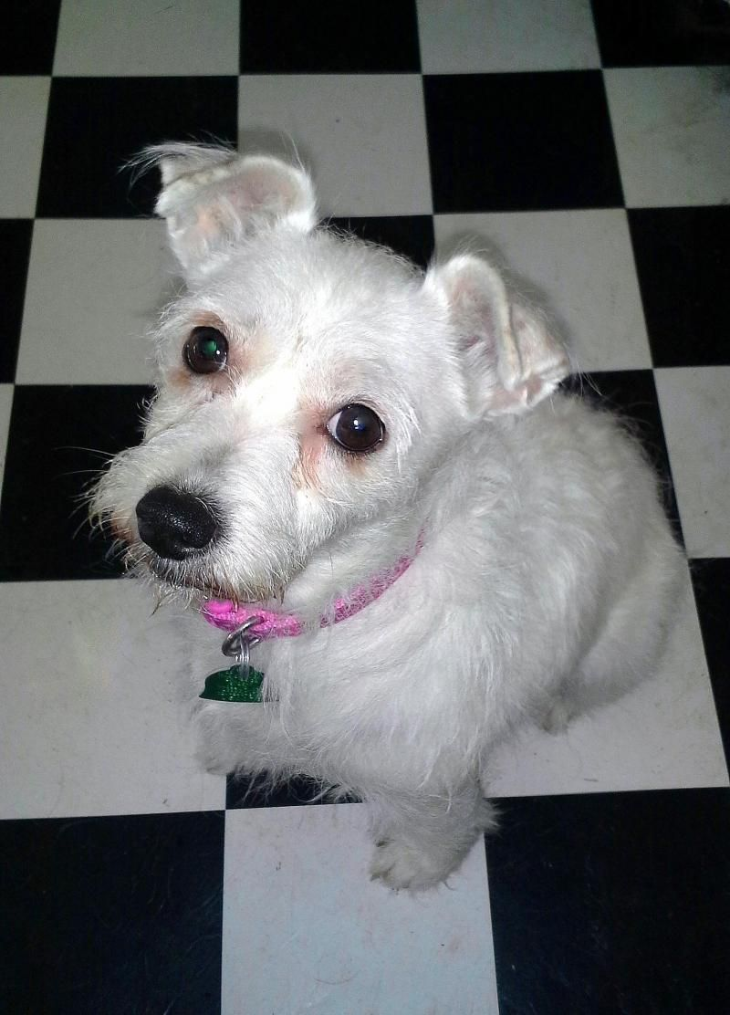 Adopt Lily On Petfinder Pet Adoption Terrier Dogs Jack Russell Terrier
