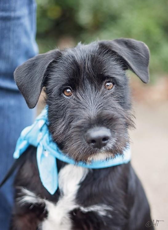 Adopt Max On Petfinder Terrier Mix Patterdale Terrier Terrier Mix Dogs