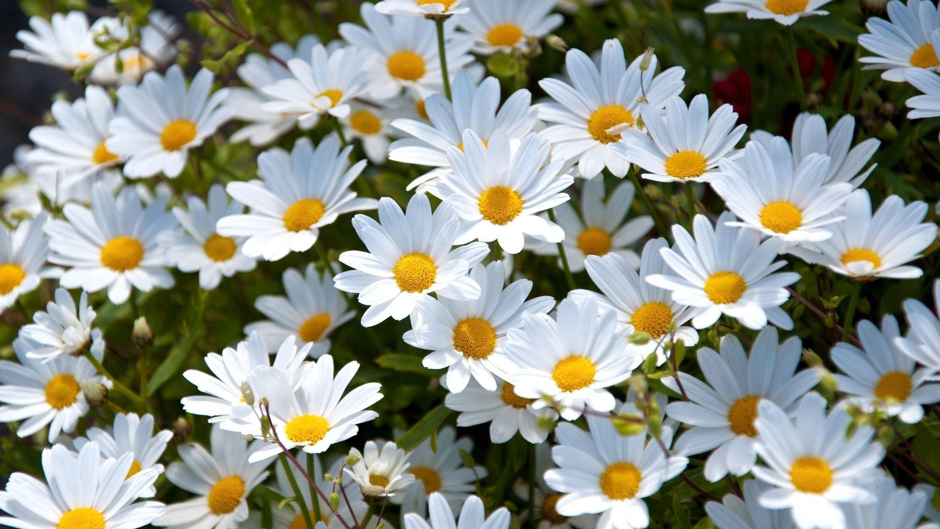 1920x1080 wallpaper daisies white meadow summer mood autumn 1920x1080 wallpaper daisies white meadow summer mood mightylinksfo