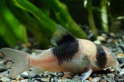 Corydoras Sp Cw51 Synonym Corydoras Sp New Panda Tropical Fish Beautiful Fish Aquarium Fish