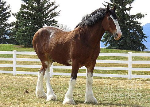 Magnificant Horses - The Clydesdales -8 by Diane M Dittus