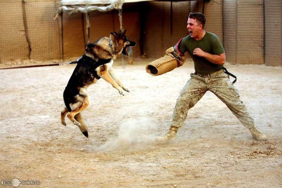 War Dog Training War Dogs Dogs Military Dogs