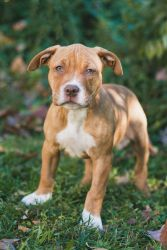 Adopt Brooklyn On Pit Puppies Pitbull Terrier Bull Terrier Dog