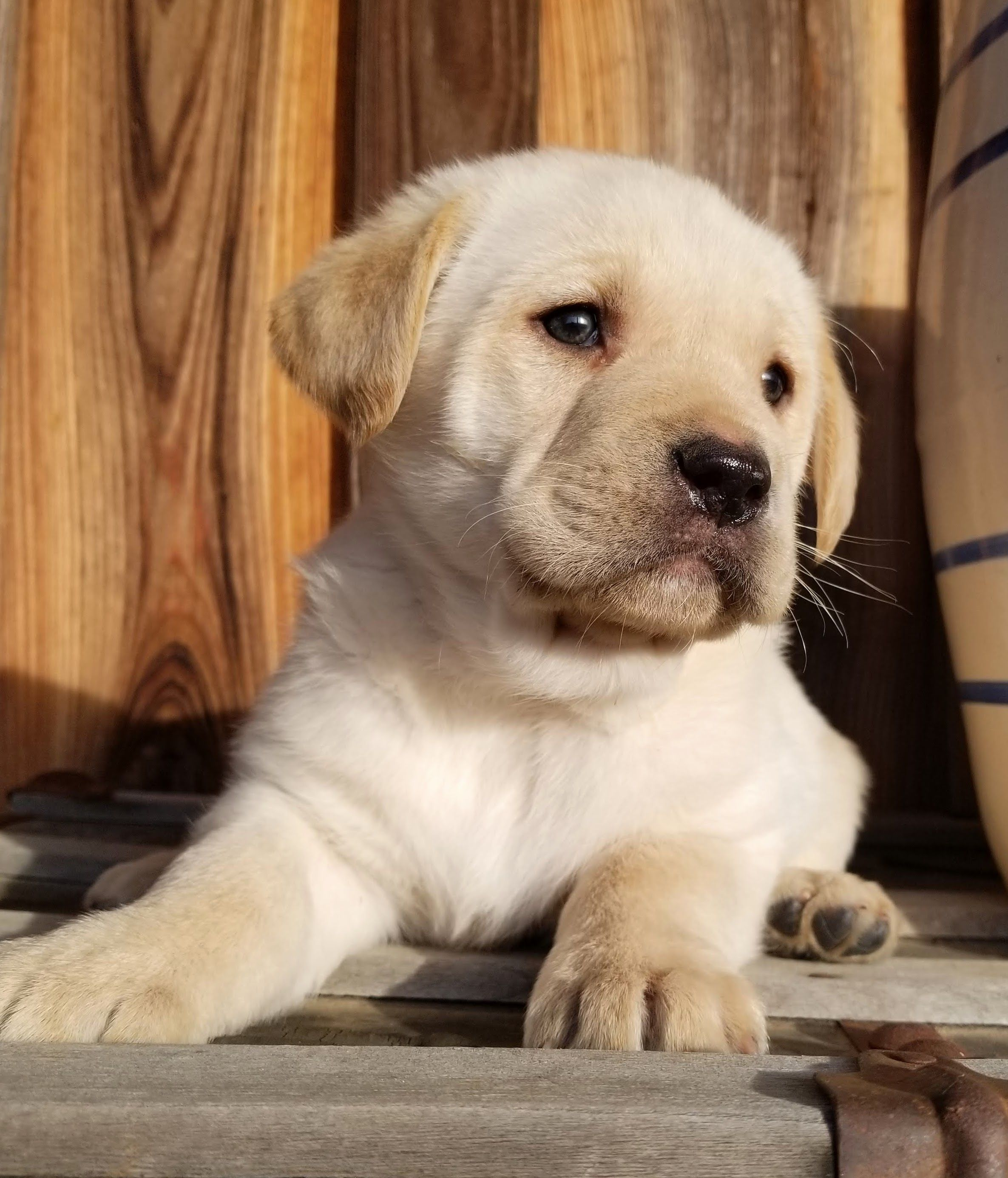 Breed Labrador Retriever Gender Male Registry AKC