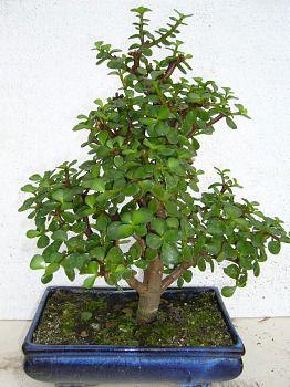 plante grasse bonsai