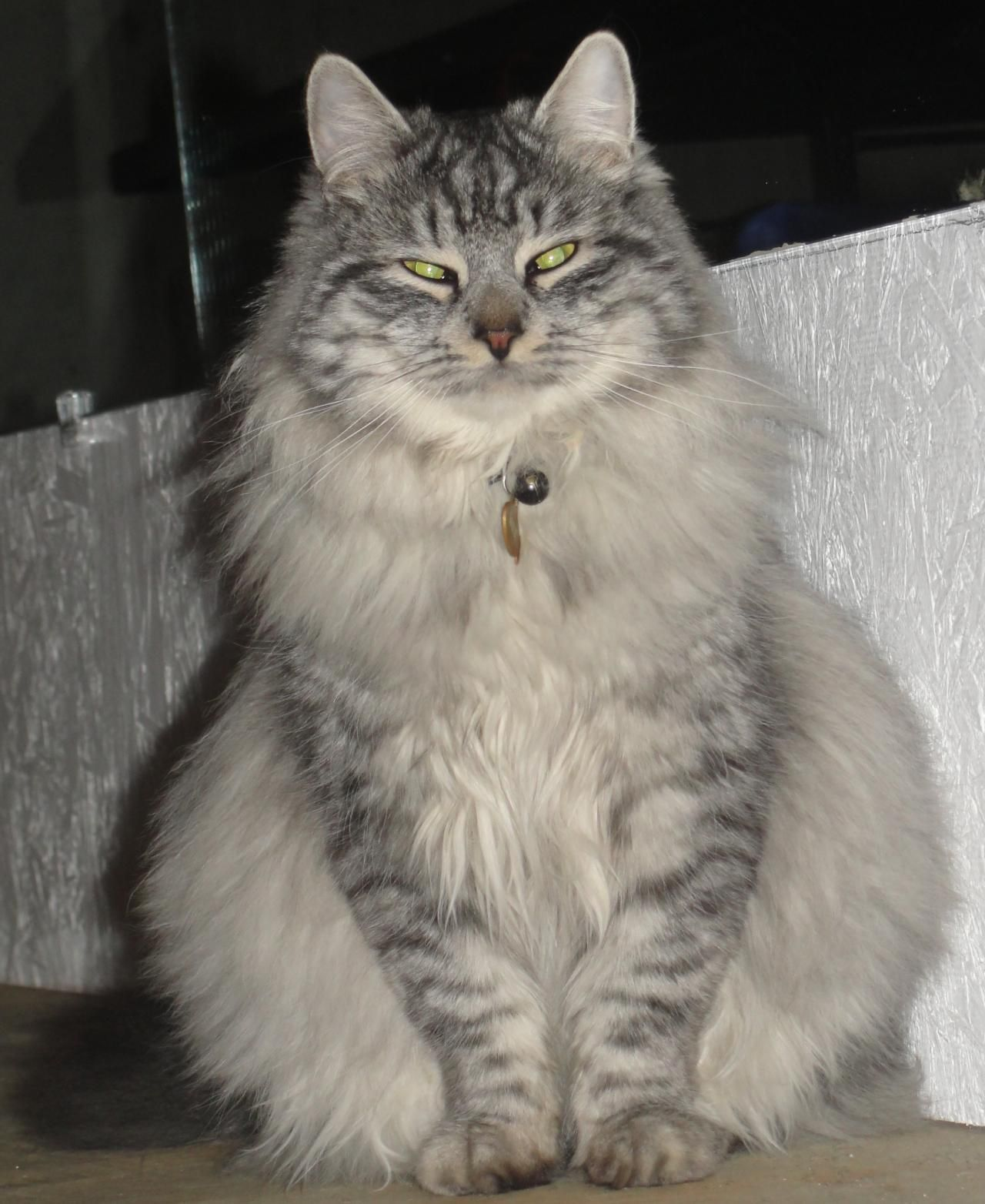 Siberian kitten for sale NH Mass Color point at 11 weeks old