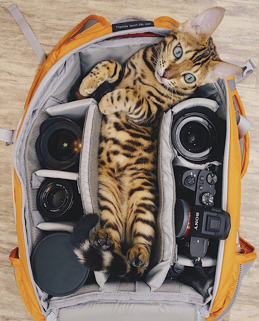 K Ein Stubentiger Katzen Bengal Katzchen Hubsche Katzen