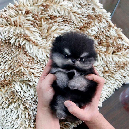 The Tiniest Teacup Dogs Teacup Lovers And Dog - Someone should have told this dog owner that pomeranians melt in water