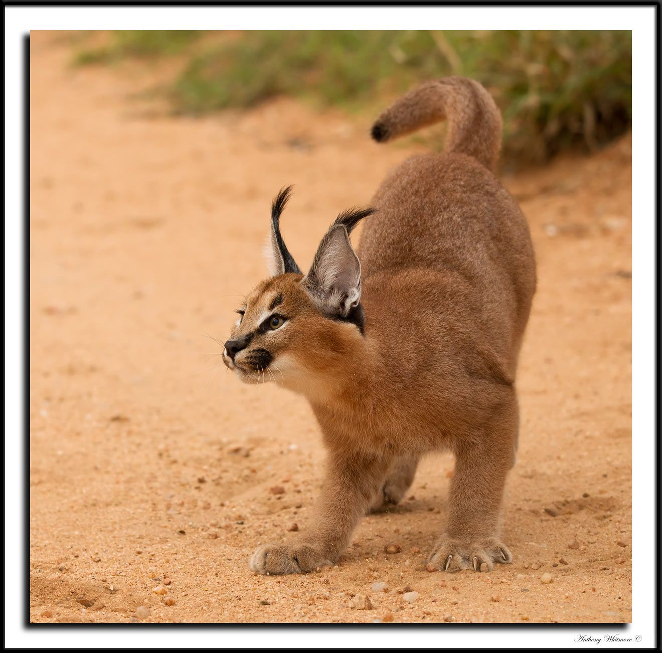 A young, curious, Caracal cat in South Africa by Fred
