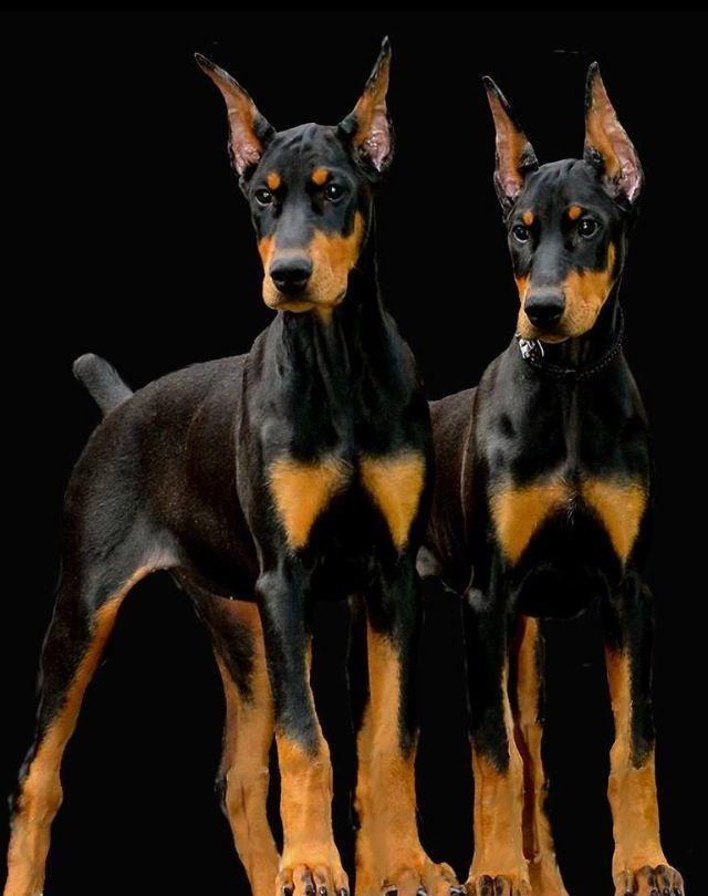 Formidable Pair Love Hot Diggity Dog Diggity Doberman