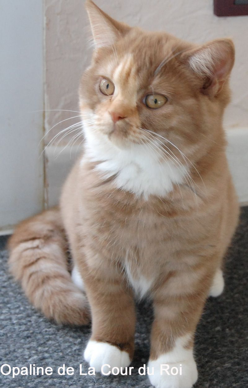 British Shorthair In South Africa So Evil So Beautiful British Shorthair British Shorthair Cats American Shorthair