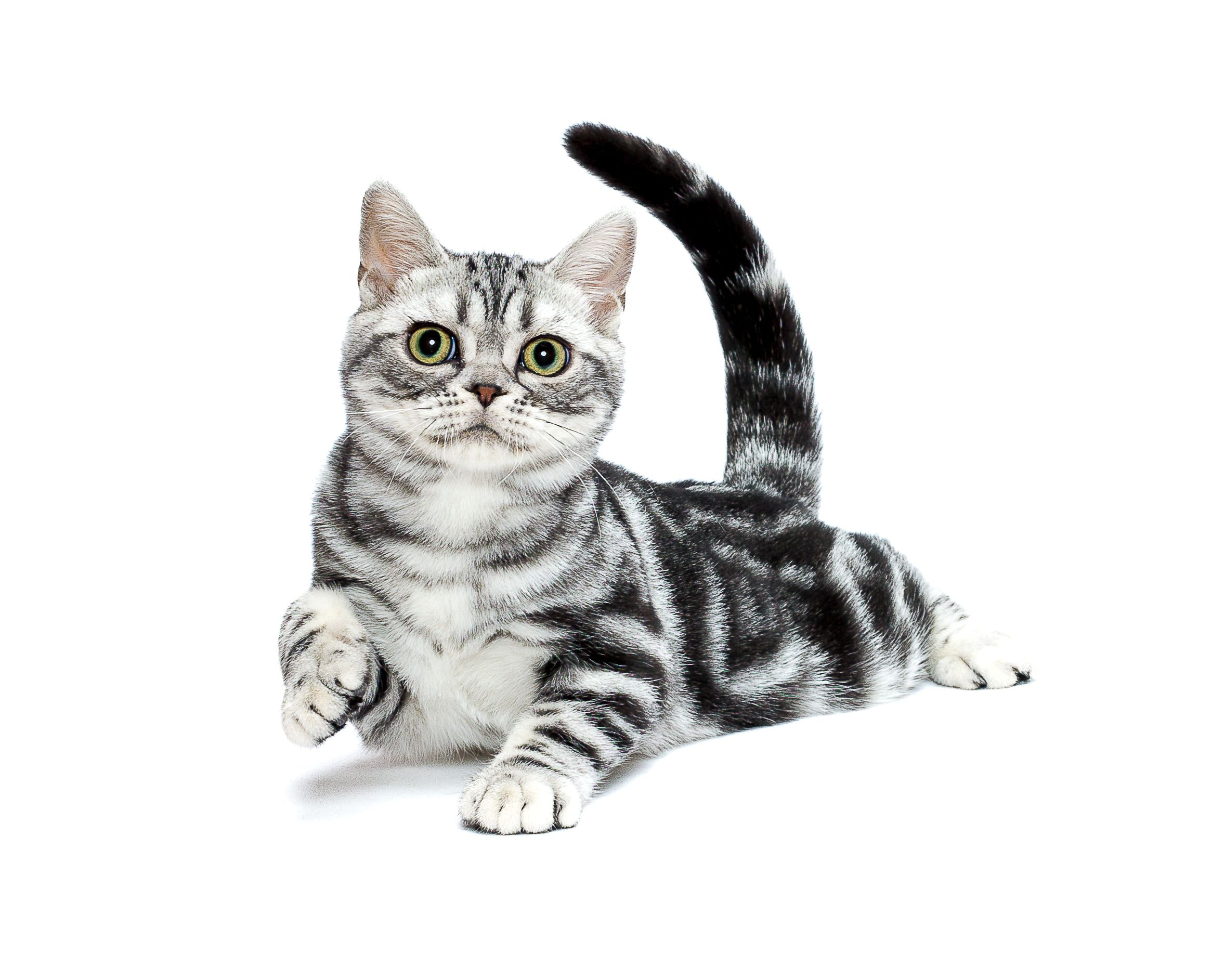 Antonio American Shorthair Kitten American Shorthair Silver Tabby Kitten