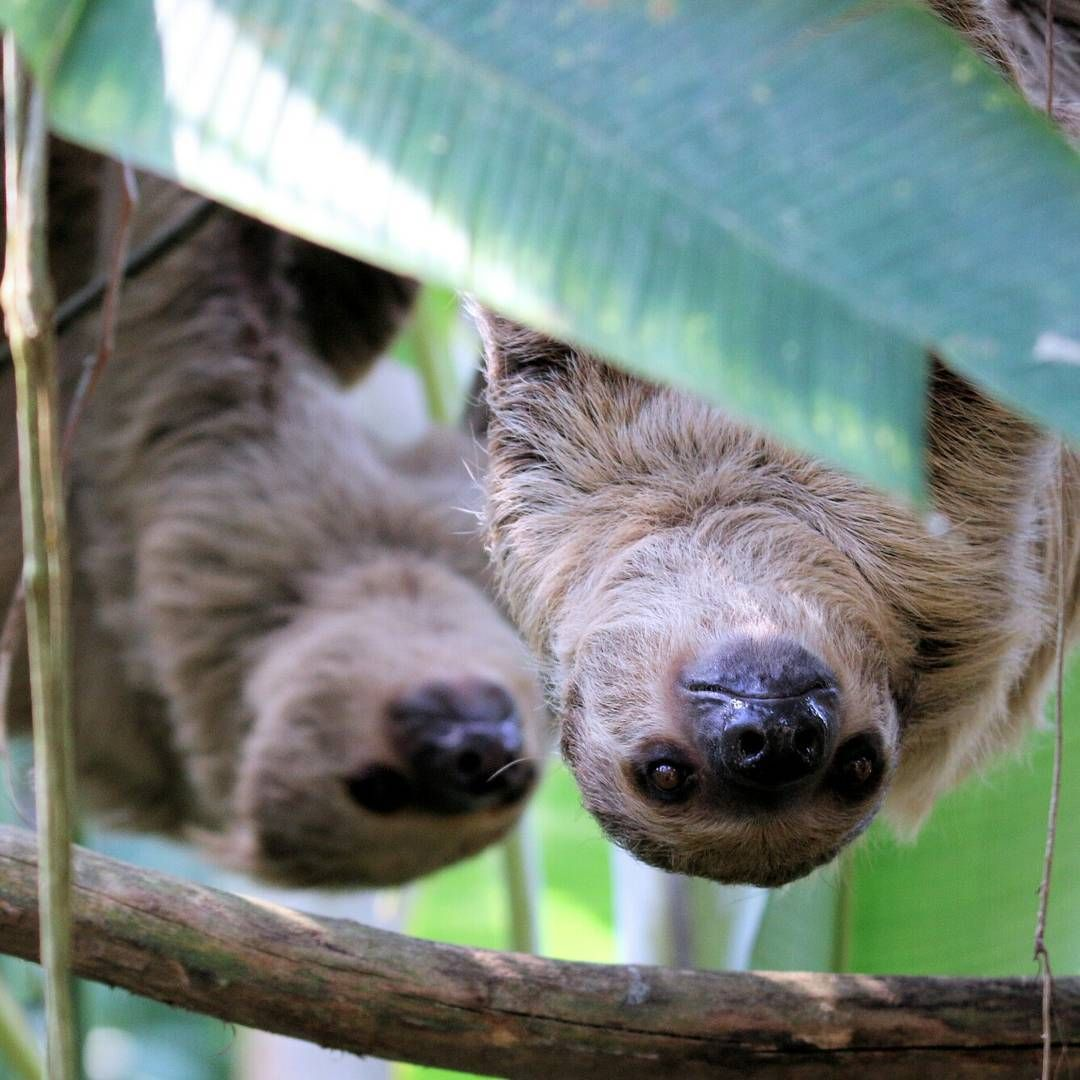 Pin By Vilava On Sloth Life Cute Baby Sloths Cute Sloth