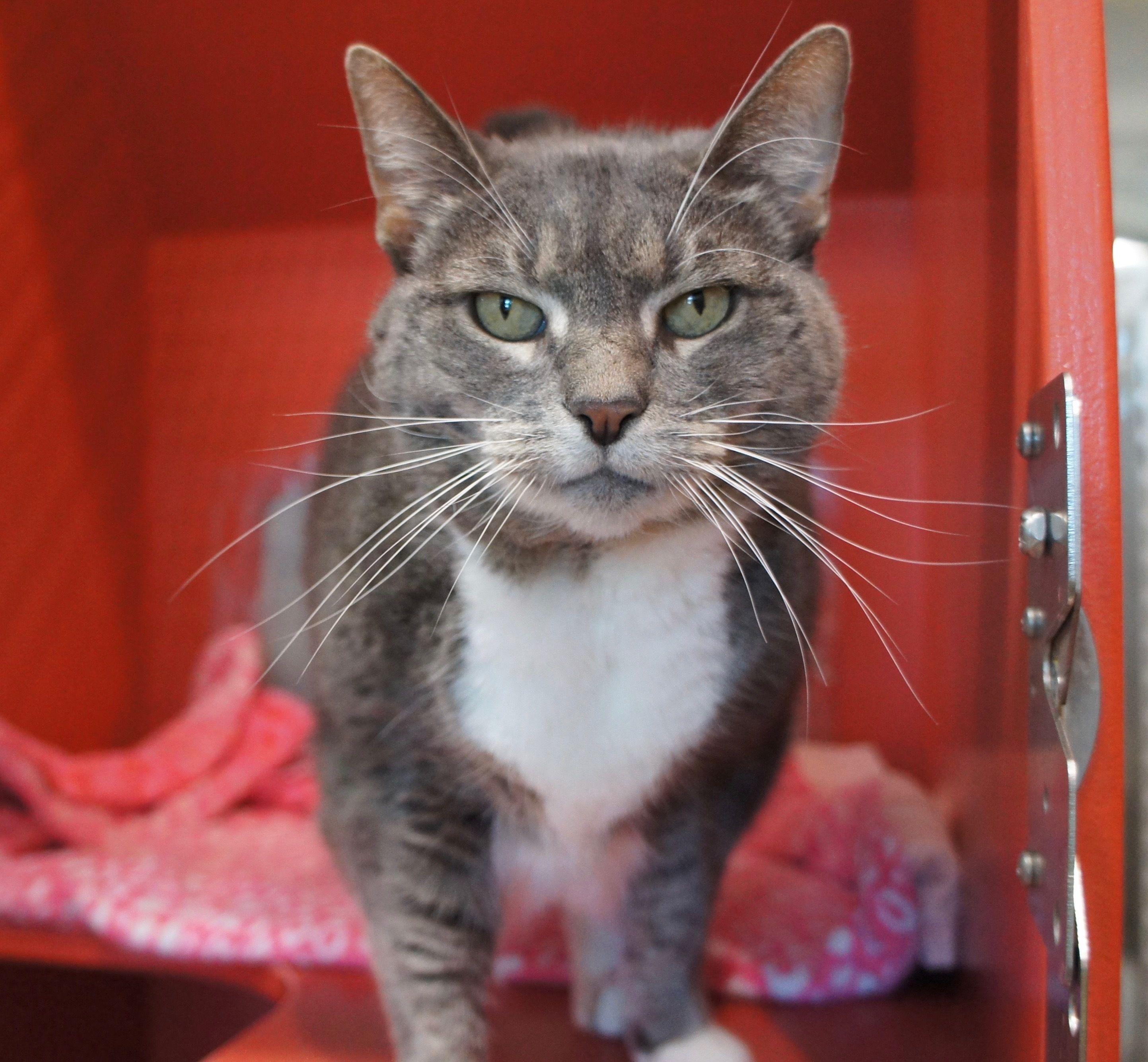 Meet TIGGER, a Cat, at MSPCA Boston Animal Care and