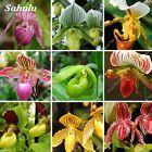 Australianstyle Cypripedium Orchid Seeds Plants Shape Monkey Mix Rare 200pcs  Plants  Seeds