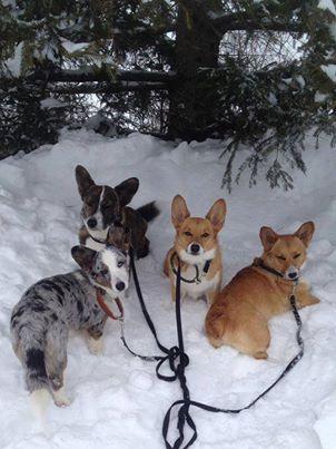Pin By Beth Lacy On Corgies Corgi Corgi Dog Cute Animals