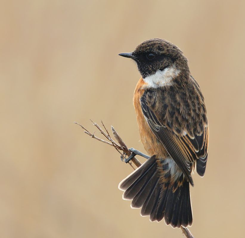 Vogel foto: Saxicola rubicola / Roodborsttapuit / European Stonechat