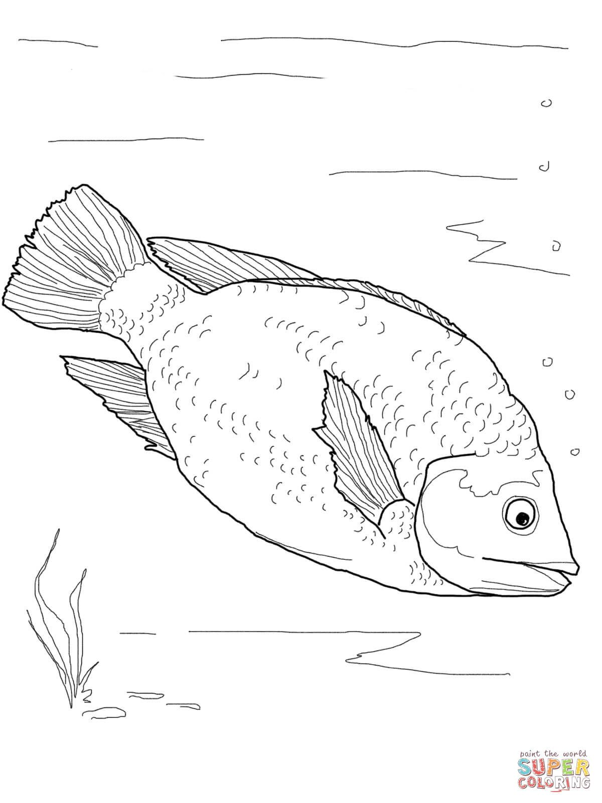 Red Tilapia | super Coloring
