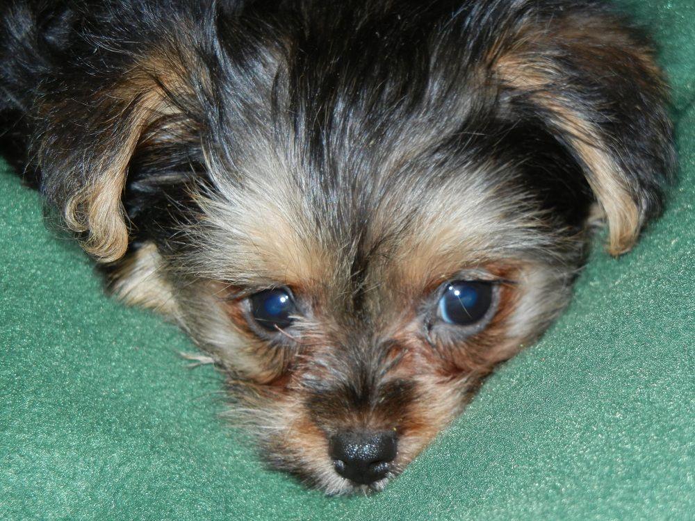 """Yorkshire Terrier/Maltese """"Morkie"""" puppy, female, born 09"""